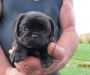 3 Black Pug Puppies for sale 1 Female & 2 Males