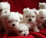 $500 Maltese puppies