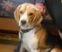 7 year old Beagle