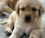 Adorable Lab Pups for Rehoming