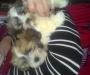 Adorable Shi Tzu puppies
