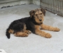 Airedale Terrier male puppy