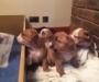 Beautiful Kc Registered Bulldog Pups
