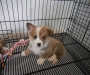 Beautiful Pembroke Welsh Corgi for Sale