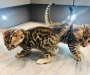 Bengal kittens male and female