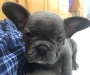 Blue French Bulldog Pups Available