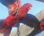Cardinal lorie pair