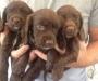 Chocolate Cocker spaniel puppies