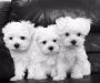 Cute Maltese puppies ready to go
