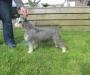 DogsNZ reg (NZKC) Miniature Schnauzer puppies
