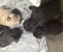 French Bulldog. Puppies