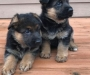 German Shepherd Puppies ready to go