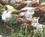 Hyline chickens