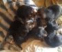Hunterway x puppies