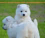 Japanese Spitz puppies available for adoption