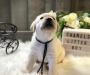 Labrador Retriever Puppies Ready