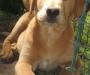 Labrador x retrodoodle
