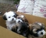 Lhasa Apso puppies looking for new homes