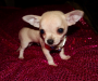 Looking for a Chihuahua puppy!