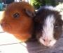 Friendly guinea pigs