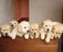 Lovely Golden Retriever puppies