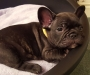 Lovely Pure-bred French Bulldogs for Adoption