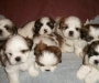 Lovely Shih Tzu puppies males and females