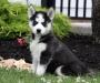 Lovely Siberian Husky puppies