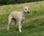 Lurcher puppy wanted