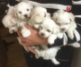 MALTESE puppies and SHIH TZU puppies