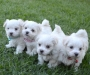 Maltese puppies male and female