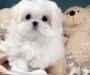 Maltese puppies ready Available