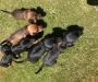 Miniture Dacshund Short Coat Puppies