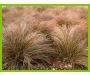 NZ Carex Testacea