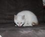 Oriental Ragdoll kitten