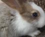 Pedigree Flemish giant rabbit
