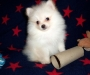 Pomeranian puppies ready for new homes