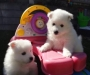 Pure Breed Japanese Spitz Puppies for adoption