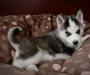 PureBred Siberian Husky for Adoption