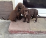 Purebred Chocolate Cooker Spaniel puppies