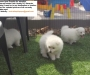 Purebred Japanese Spitz Pups for adoption
