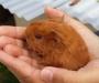 Shelti guinea pigs