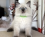 Ragdoll kittens registered pedigree