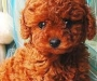 Red Toy Poodle Puppies Male and female left
