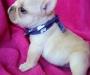 Reg French Bulldog pups