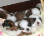 Shih Tsu Puppies