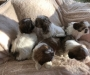 Shih Tzu puppies males and females