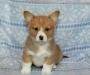 Short Leg Pembroke Welsh Corgi Puppies