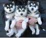 Siberain Husky puppies