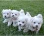Snow white Maltese puppies